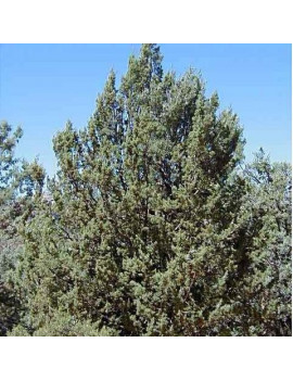 Cupressus Arizonica (Ciprés Azul)