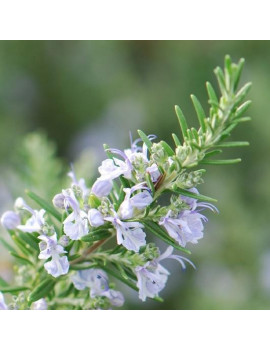 Rosmarinum Officinalis (Romero) M-15