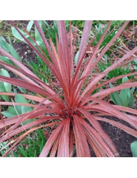 CORDYLINE AUSTRALIS RED STAR 2,5L (DRACENA ROJA)