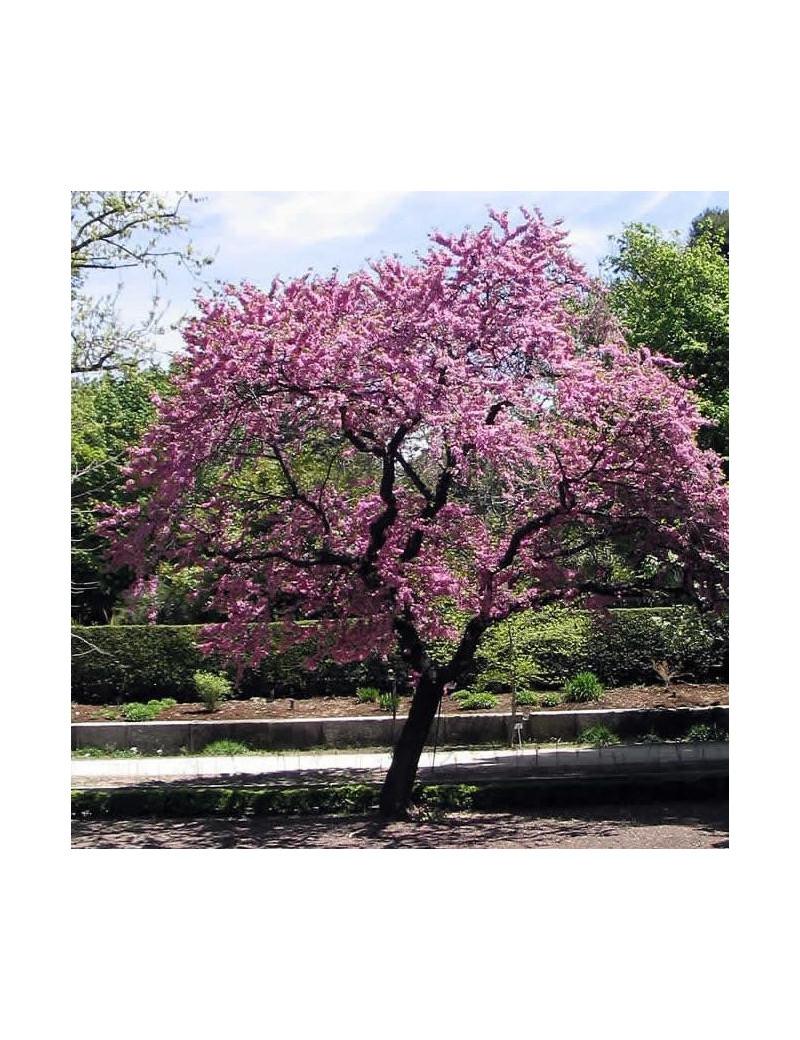 Cercis siliquastrum c 25 arbol del amor for Arboles para macetas de exterior