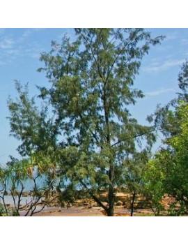 CASUARINA EQUISEFOLIA 6L (PINO AUSTRALIANO)