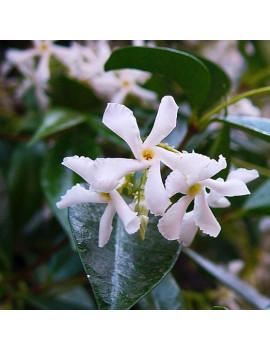 Trachelospermum Jasminoides(Jazmín de Leche)M-18