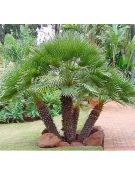 Chamaerops Humilis (Palmito )