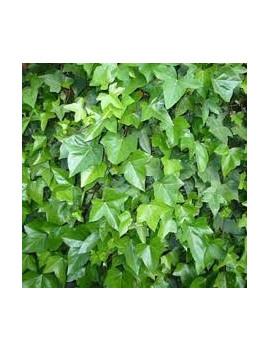 Hedera Helix Verde M-17 ( Verde )