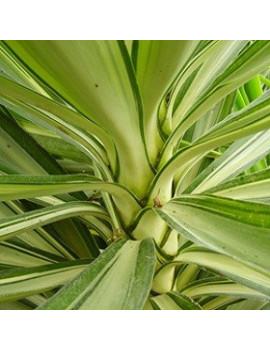 Yucca yewel 5l yuca variegada dijardin for Planta yuca exterior