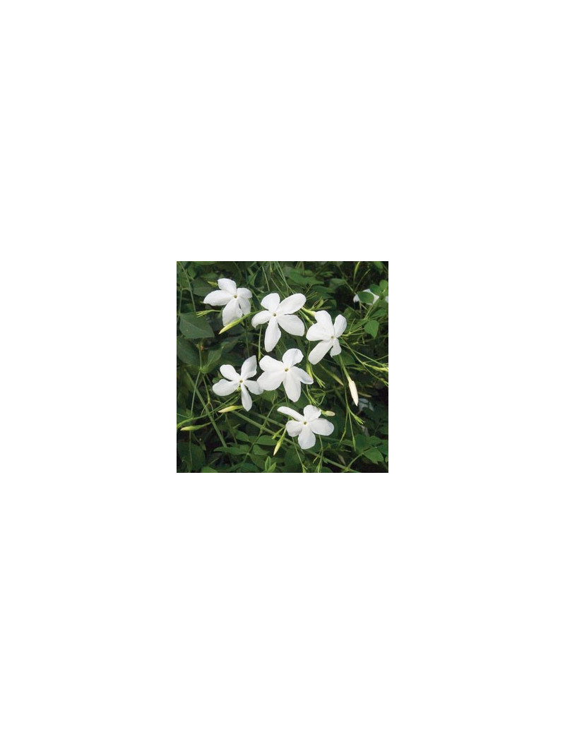 Jasminum grandiflorum m 17 jazmin real dijardin for Jazmin planta precio