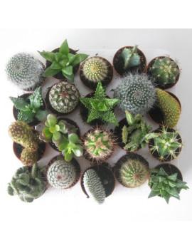 Cactus Mix M-5.5 (Bandeja completa)