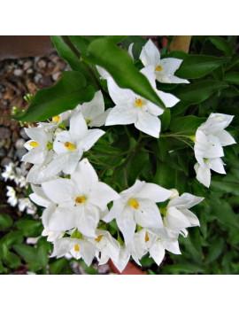 Solanum Jasminoides (Falso Jazmín) M-18