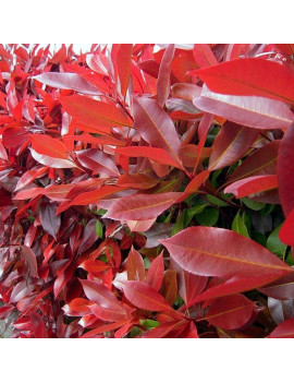 PHOTINIA RED ROBIN COPA 10 L ( FOTINIA )