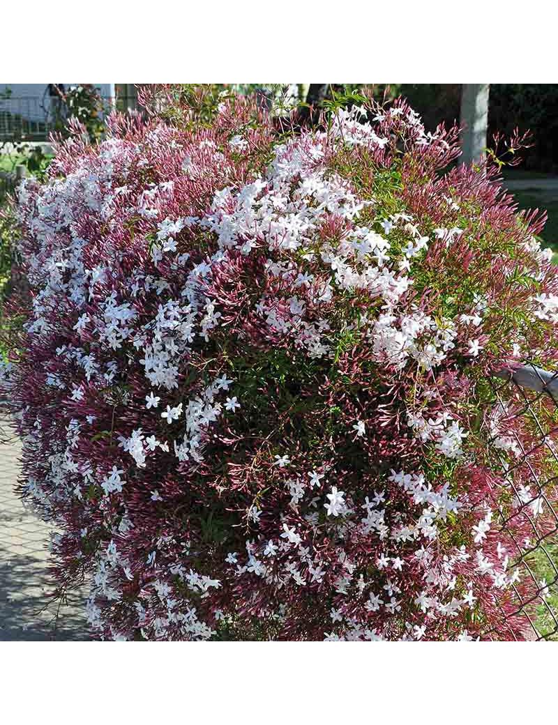 Jasminum polyanthum 2 5l jazmin for Jazmin planta precio