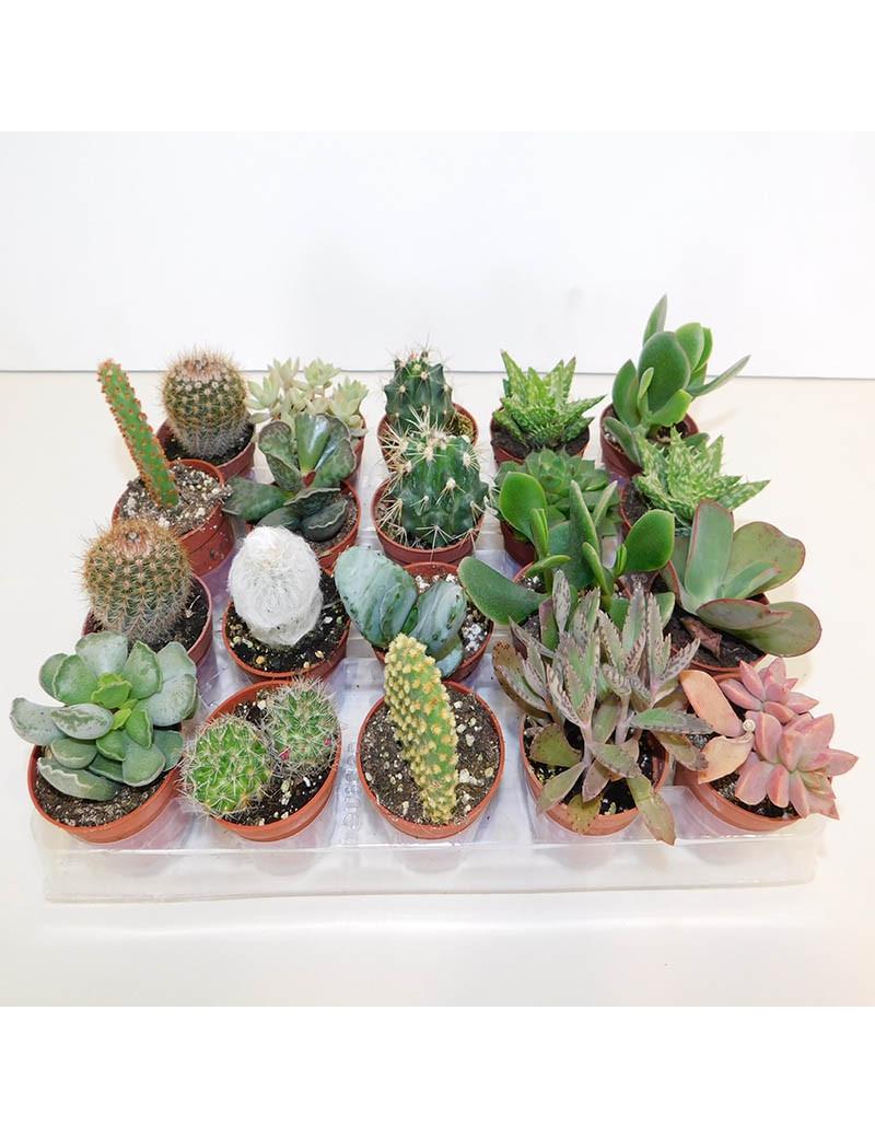 Conjunto de plantas crasas m 8 10 for Plantas crasas interior