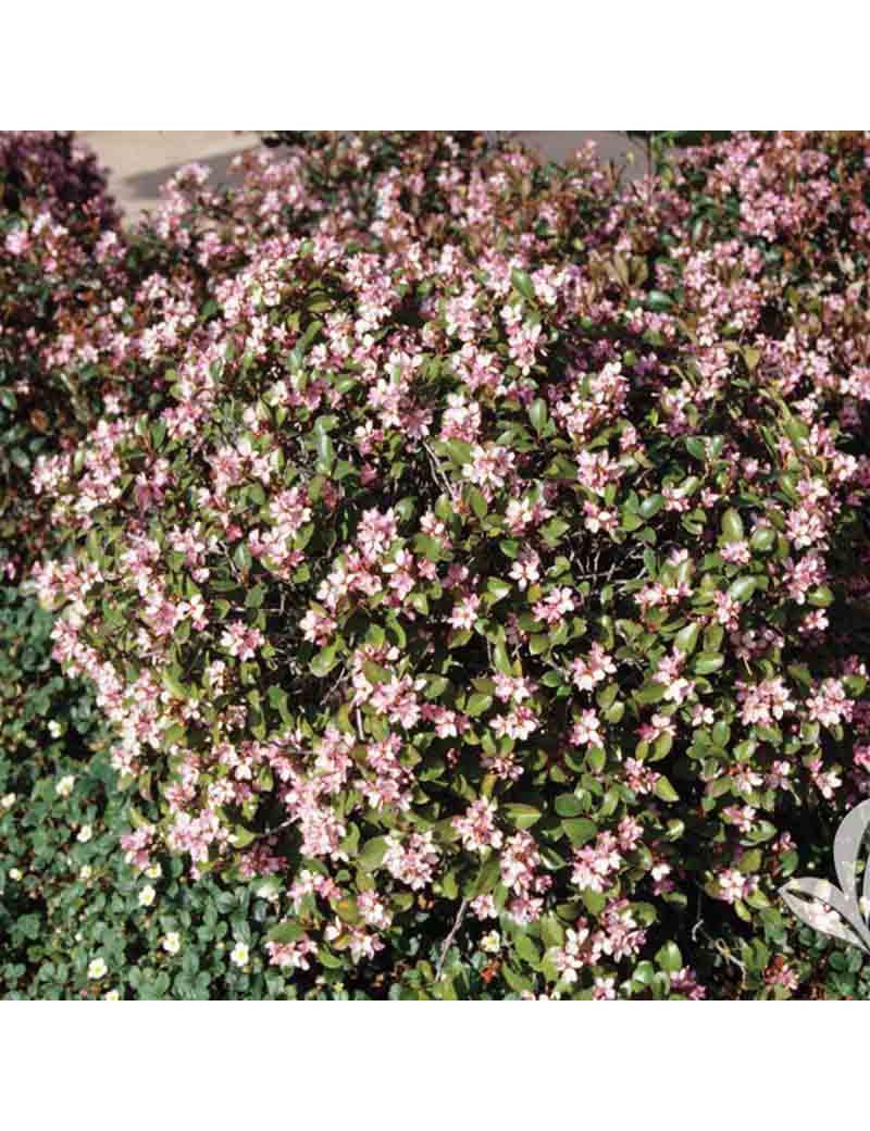 Abelia Chinensis Ewuard Goucher Abelia