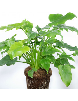 """PHILODENDRON """"LITTLE HOPE""""..."""