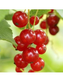 Ribes Rubrum 2L (Grosella...