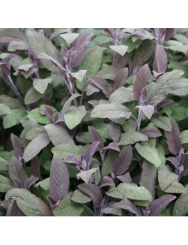 SALVIA OFFICINALIS 0,5L