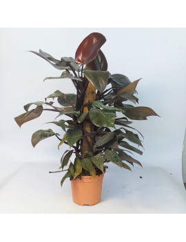 PHILODENDRON RED EMERAL...