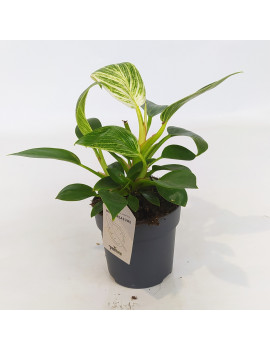 PHILODENDRON 0.5L