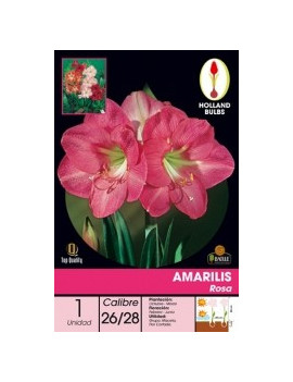 AMARILIS ROSA ( ENMACETADO...