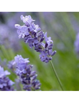 LAVANDULA OFFICINALIS 1L...