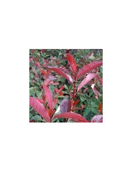 PHOTINIA FRASERY RED ROBIN 2,5L (FOTINIA)