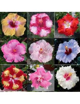 Hibiscus Rosa-Sinensis (Hibisco)