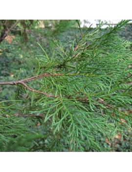 Cupressocyparis Leylandii (Ciprés de Leilandii)