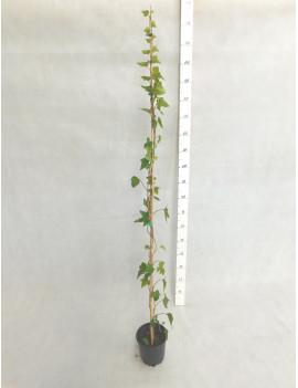 Hedera Helix Verde (Hiedra) M-17