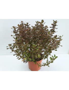 "COPROSMA ""PACIFIC NIGHT"" 2L"