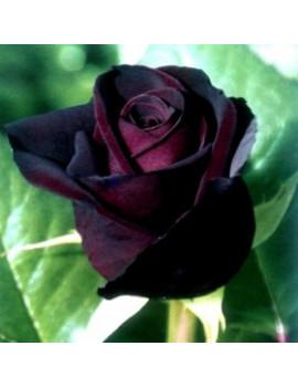 ROSAL BLACK BACCARA SELECCIONADO 2 L ( FLOR NEGRA