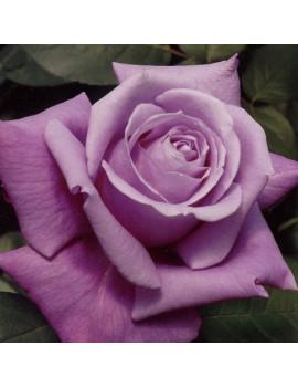 ROSAL CHARLES DE GAULLE SELECCIONADO 2L ( FLOR MA