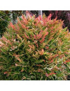 "NANDINA DOMESTICAL ""GULF STEAM"" 3L (SAGRADO)"