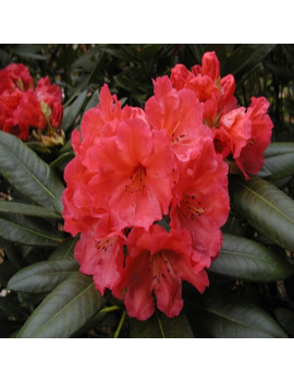 RHODODENDROM H. ROJO VULCANIS FLAME 5 (RODODENDRO