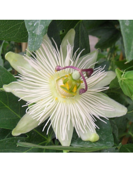 Passiflora Snow Queen (Blanca) 3l