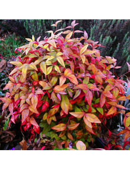 "NANDINA DOMESTINA ""FIRE POWER""3L (BAMBU SAGRADO)"