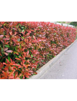 PHOTINIA FRASERI RED ROBIN 5L