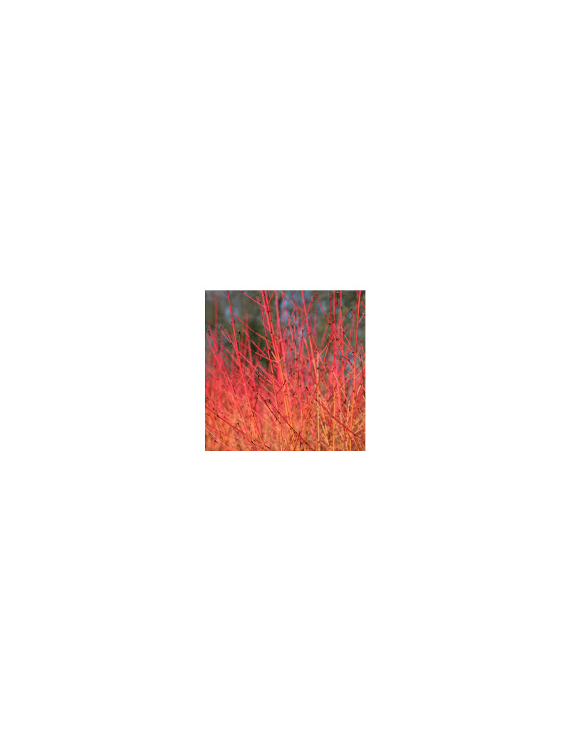 "CORNUS SANGUINEA ""MIDWINTER FIRE"" 2,5L"